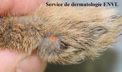 Infestations par les aoûtats - VETEA Clinique Vétérinaire